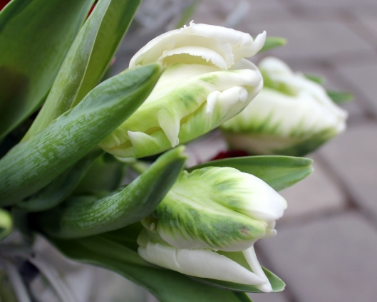 White and Green Parrot Tulips