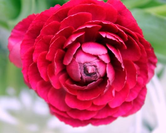 Burgundy Ranunculus